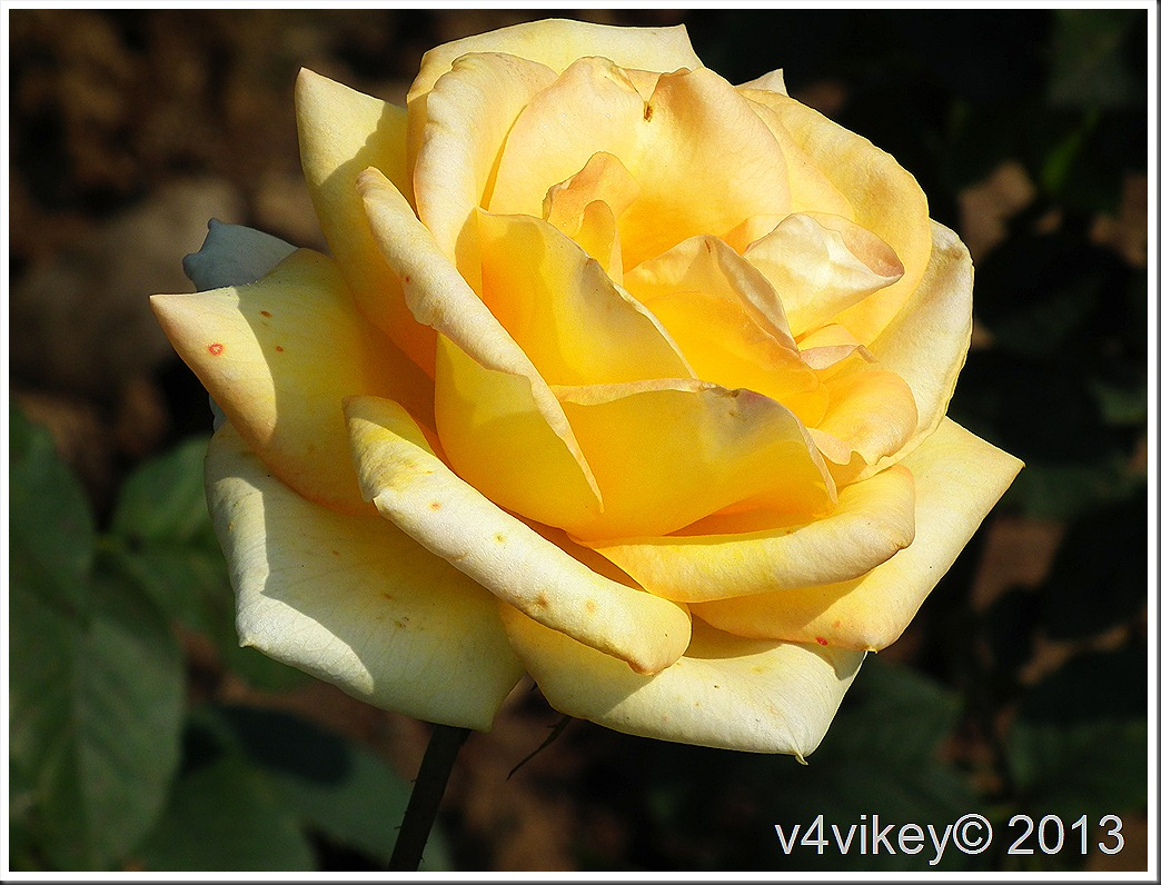 Happy Gugi Yellow Color Rose Flower Photographs