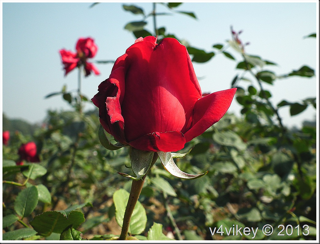 Red Color Rose Flower Photographs Wallpapers