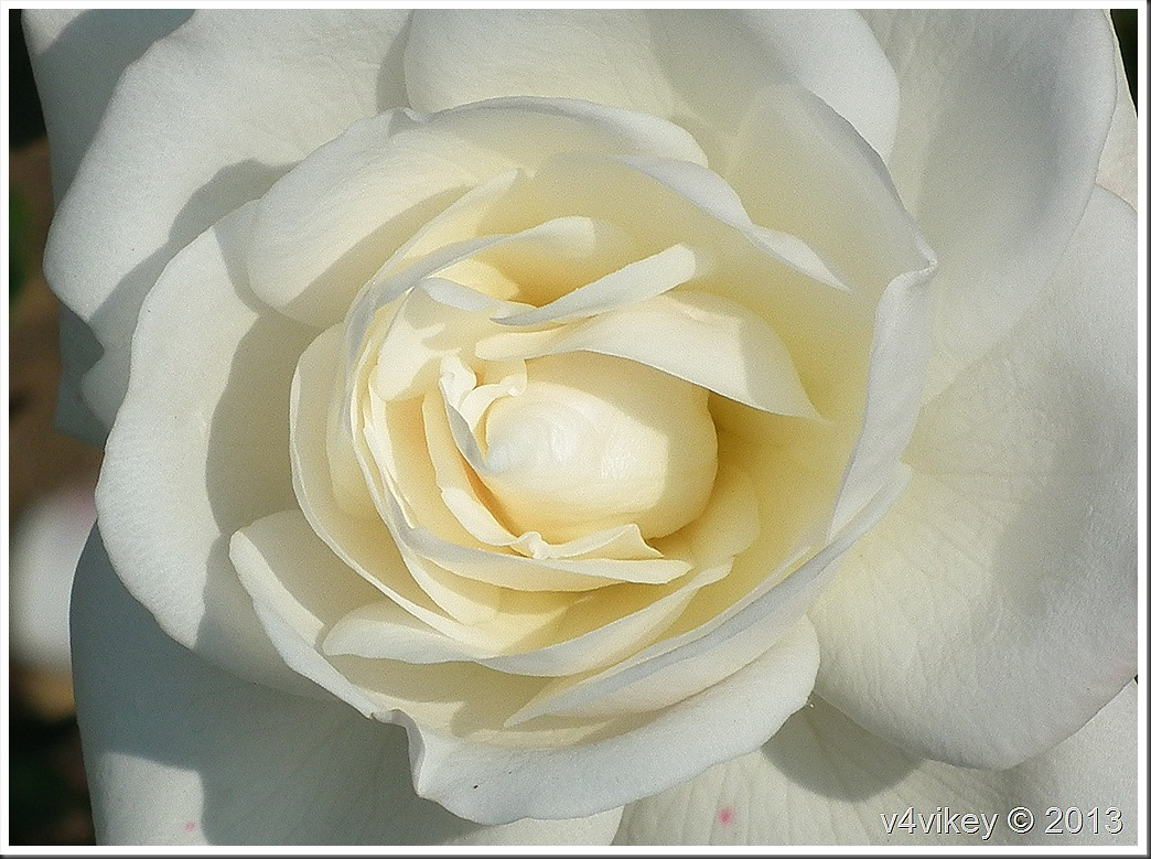White Rose Wallpaper