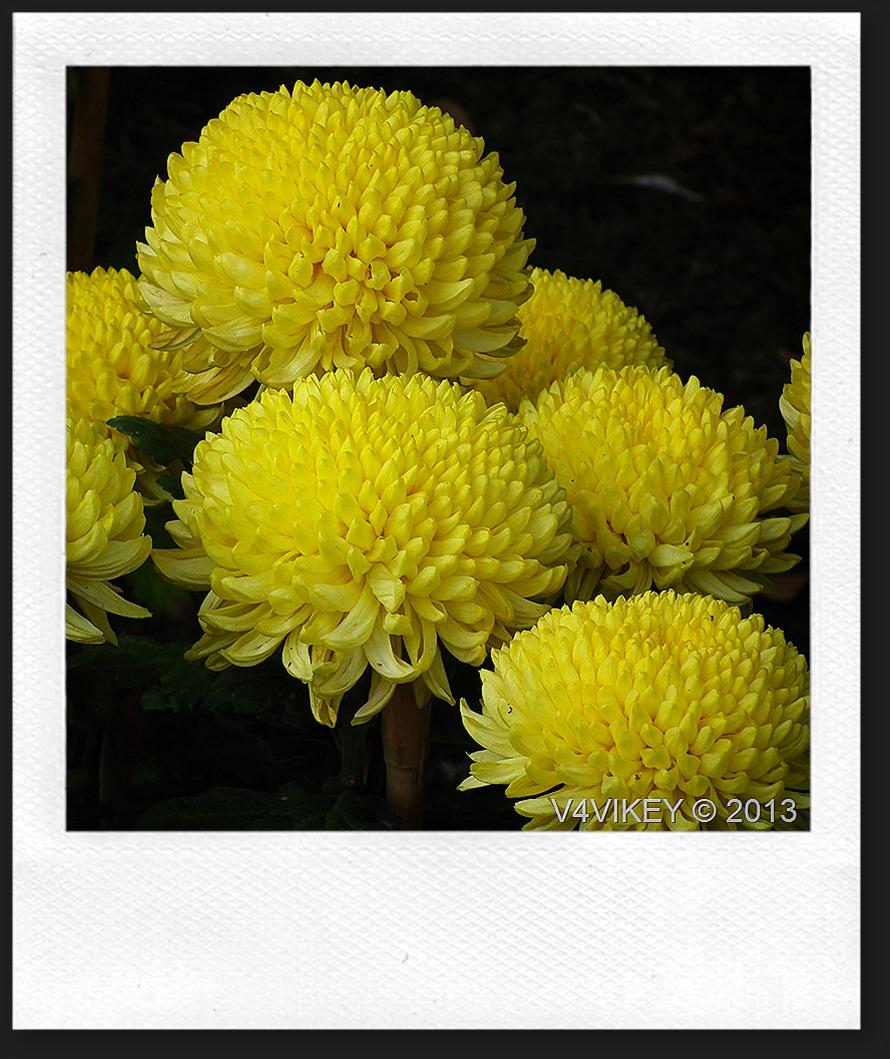 CHRYSANTHEMUM - YELLOW FLOWERS