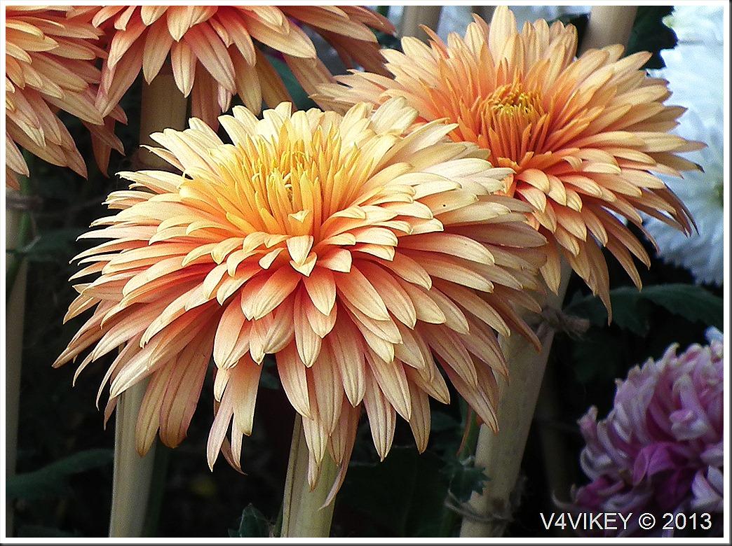 CHRYSANTHEMUM ORANGE FLOWERS