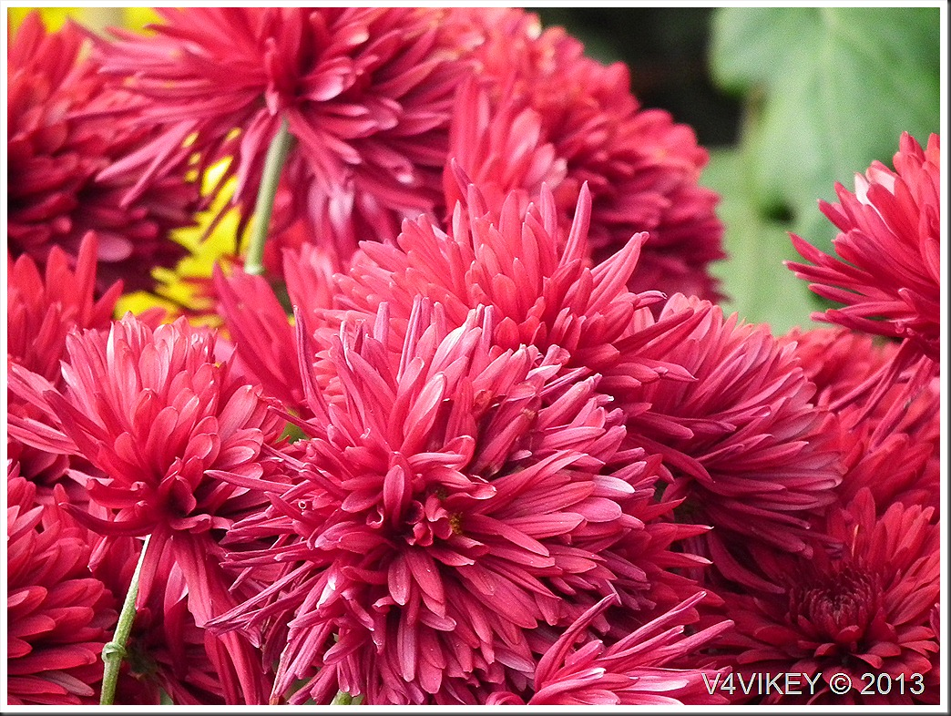 CHRYSANTHEMUM FLOWERS IN RED COLOR