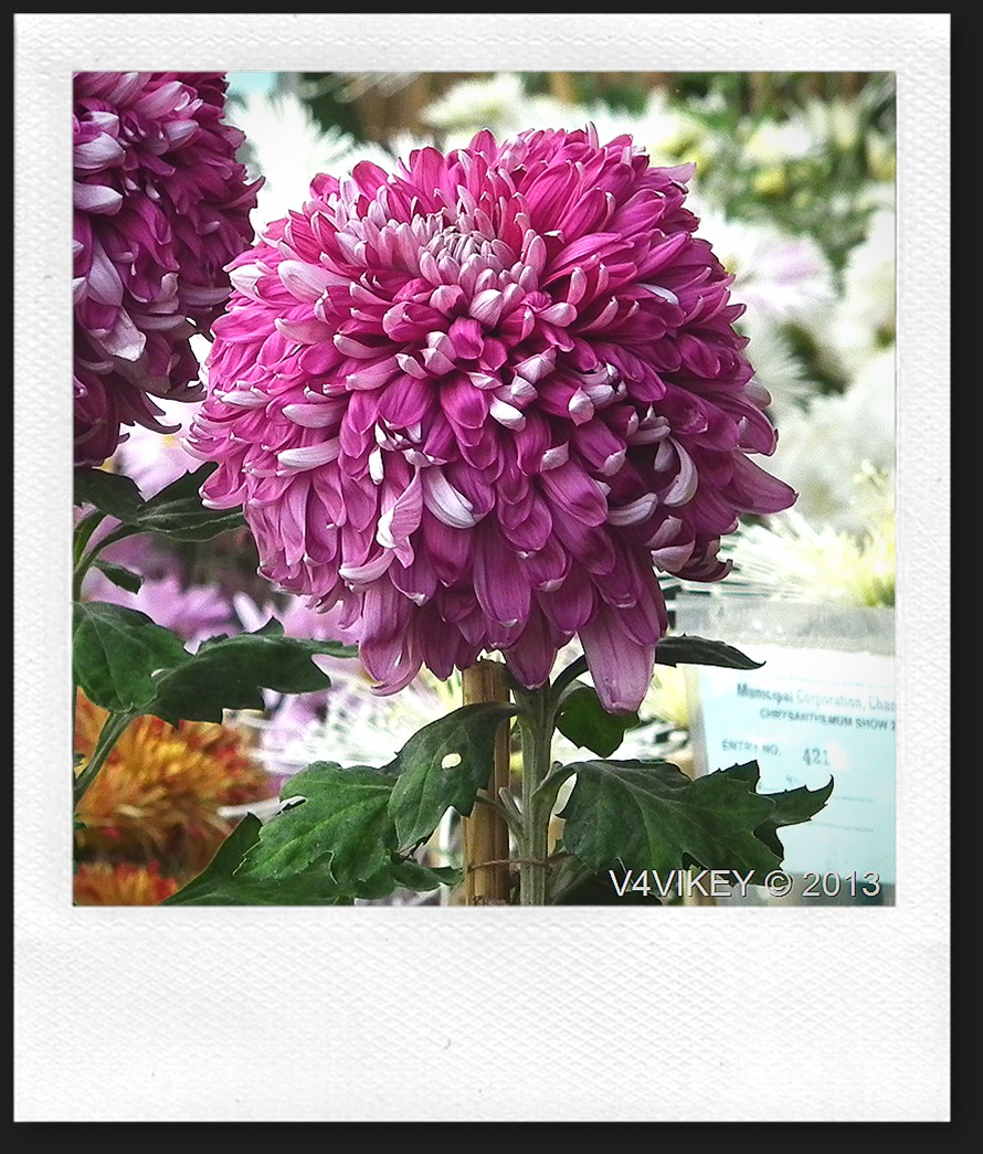 MAGENTA CHRYSANTHEMUM FLOWERS