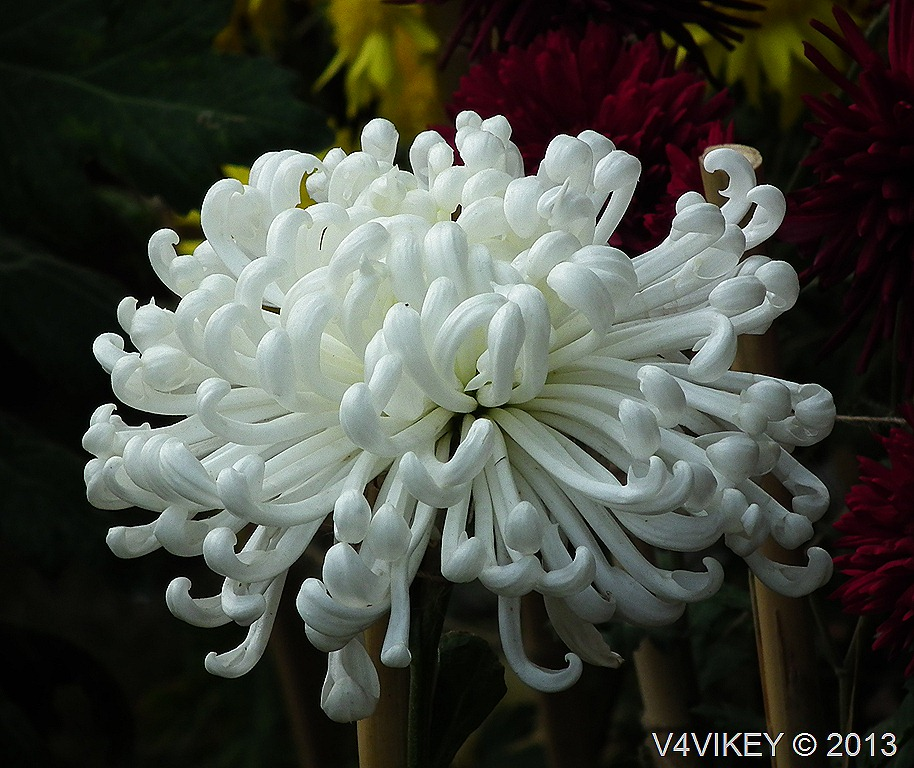 White color chrysanthemum flowers beauty of garden wallpaper tadka chrysanthemum white flower mightylinksfo