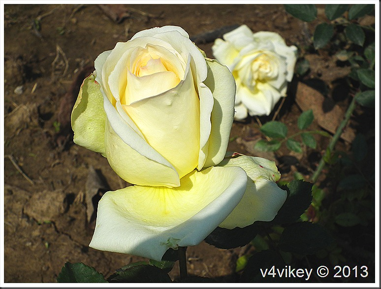 Rose Flower–Cream Color