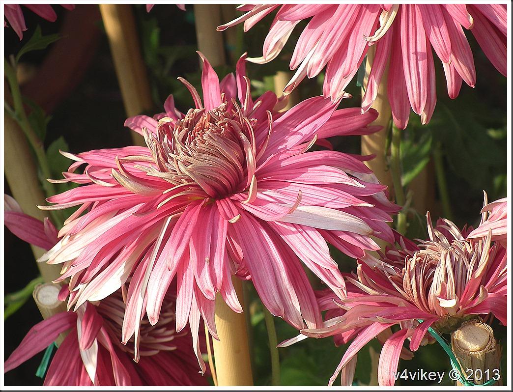 Chrysanthemum Pink Flower