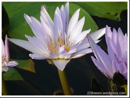 Water - Lily
