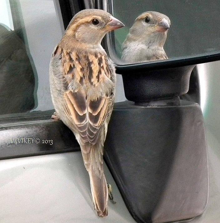 Indian Female sparrow Photograph