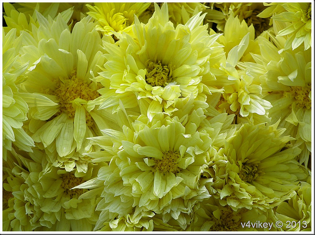 BEAUTIFUL CHRYSANTHEMUM FLOWERS IN DIFFERENT COLORS PHOTOS