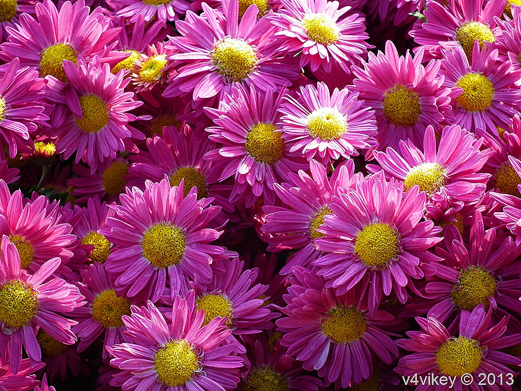 beautiful chrysanthemum flowers in different colors