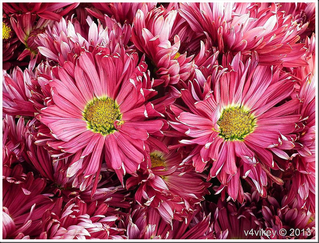 Magenta Color Chrysanthemum Flowers