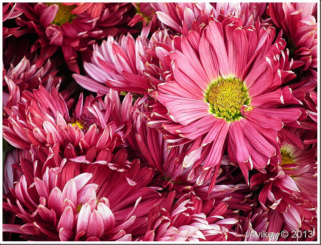 Magenta Color Chrysanthemum Flowers