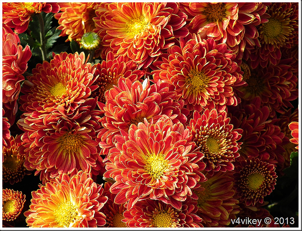 Orange Chrysanthemum Flower