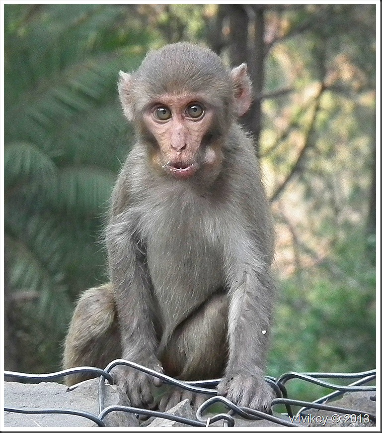 Angry Monkey on the way to himalaya