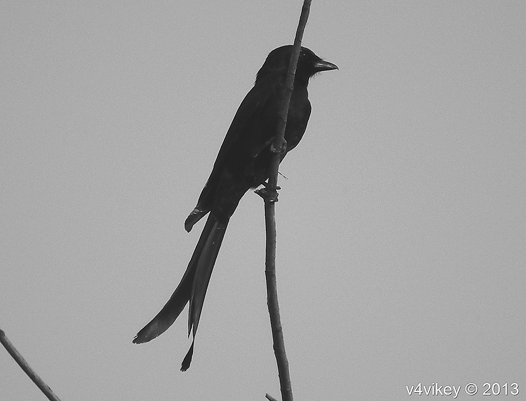 The Black Drongo -Black Beauty