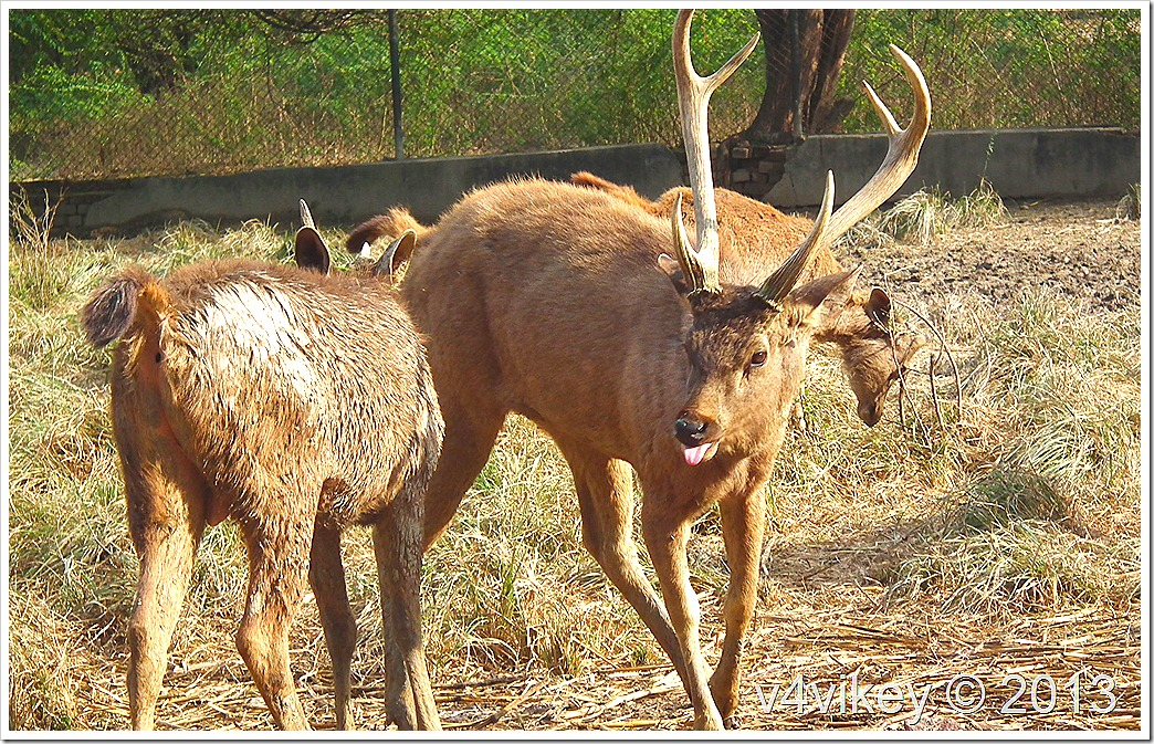 Indian Deer Photos