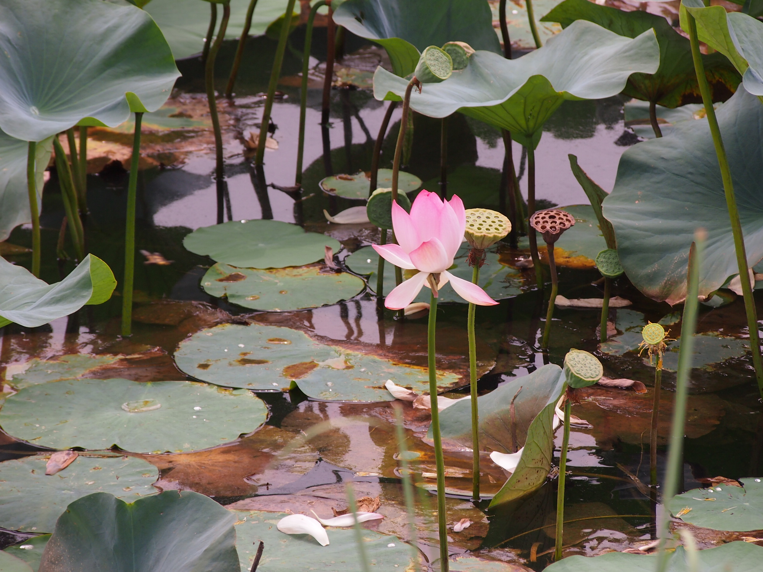Lotus Flowers In Pond Wallpaper Tadka