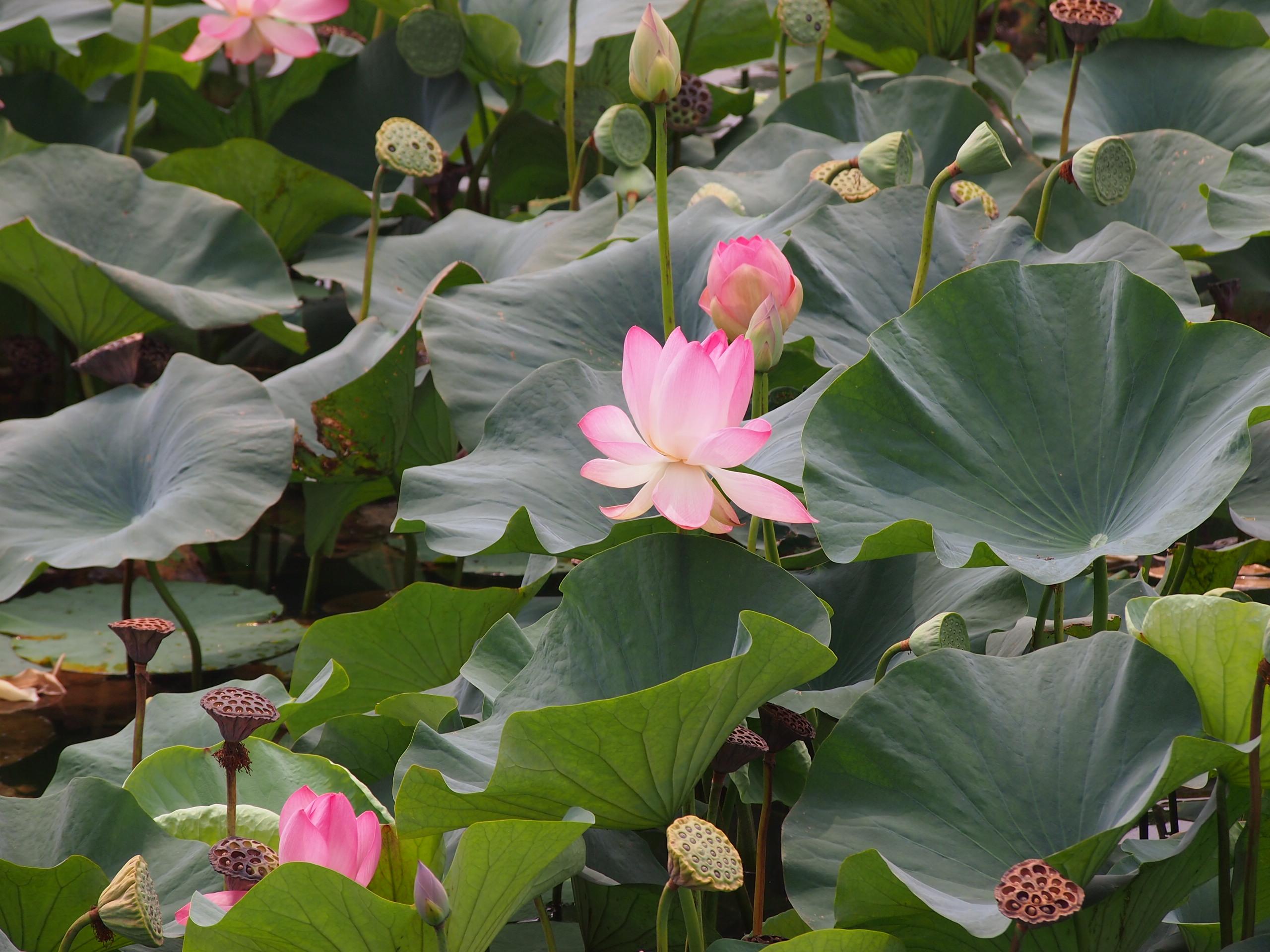 Lotus Flowers In Pond Wallpaper Tadka