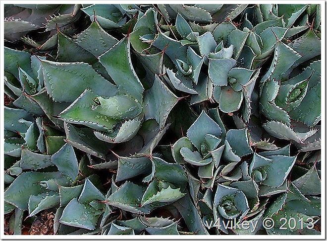 Lotus Cactus Flowers