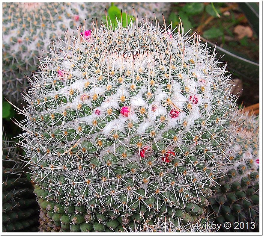 M.Geminispina– Cactus Plant