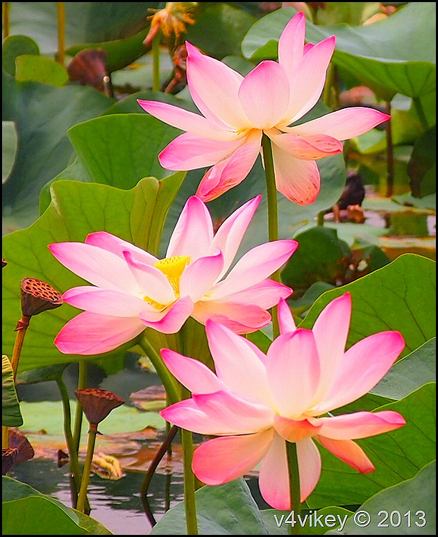 Lotus flowers wallpaper tadka pink lotus flowers 106 mightylinksfo