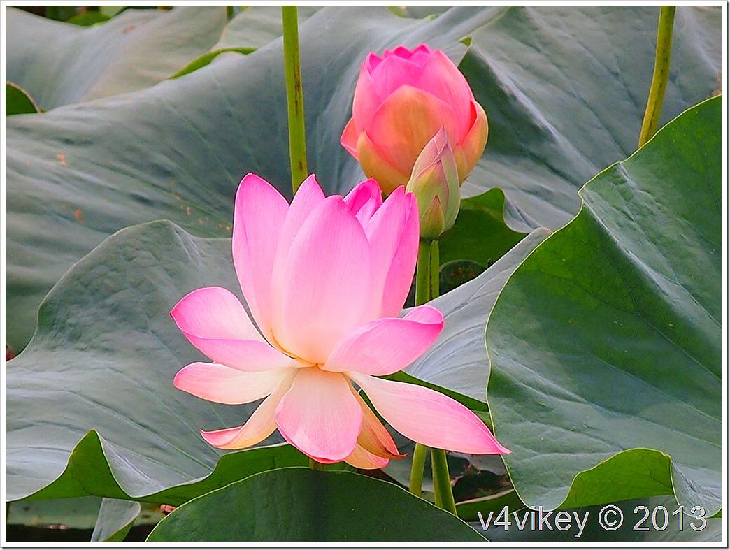 PINK LOTUS FLOWERS (8)