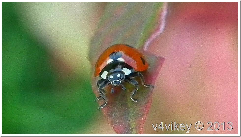 Ladybird (Ladybug)