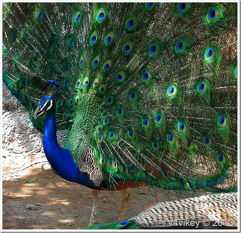 Peacock – The Beautiful Bird