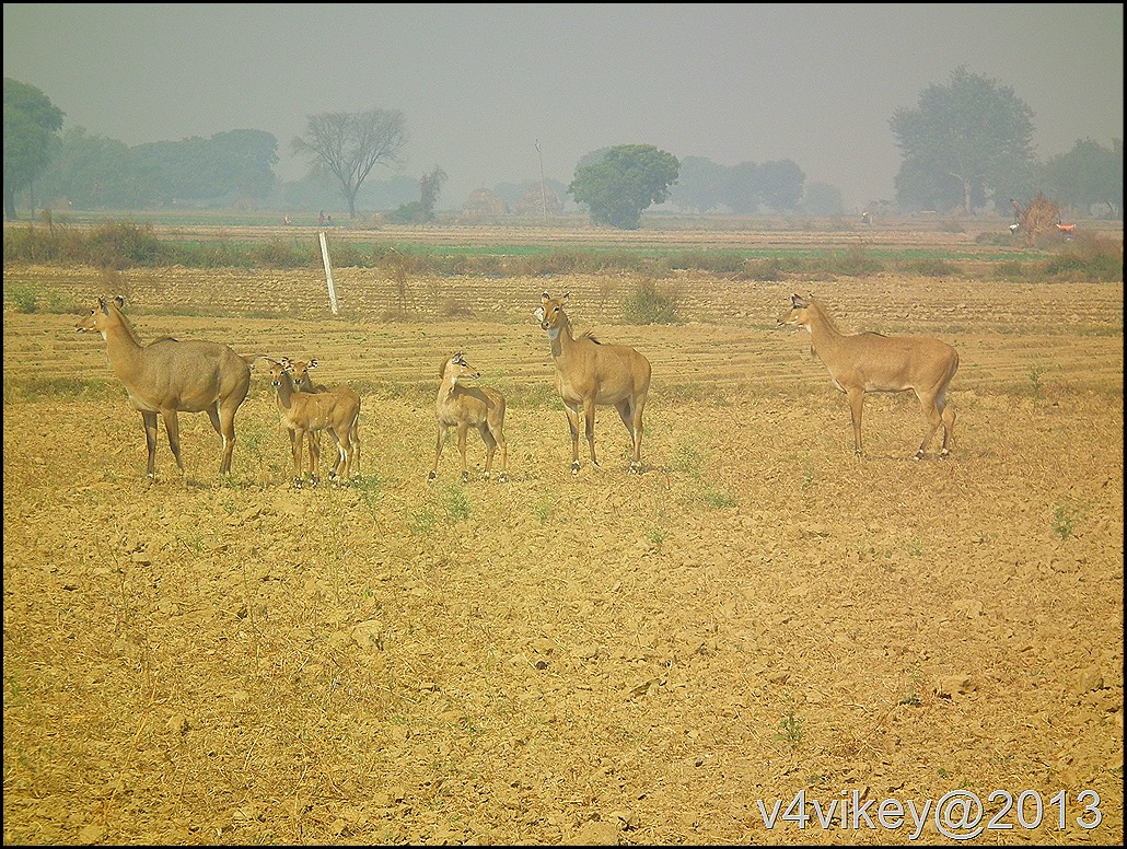 The Nilgai