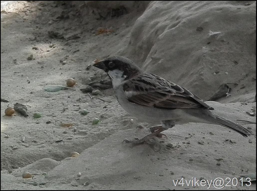 Indian Sparrow