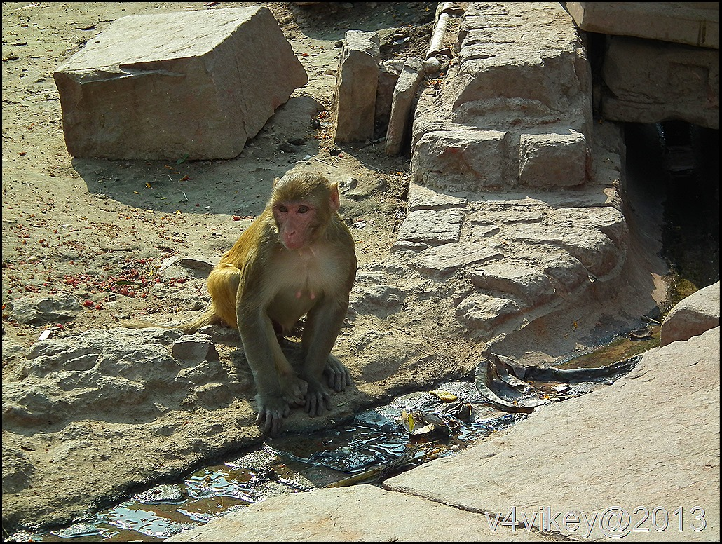 Monkey drinking water