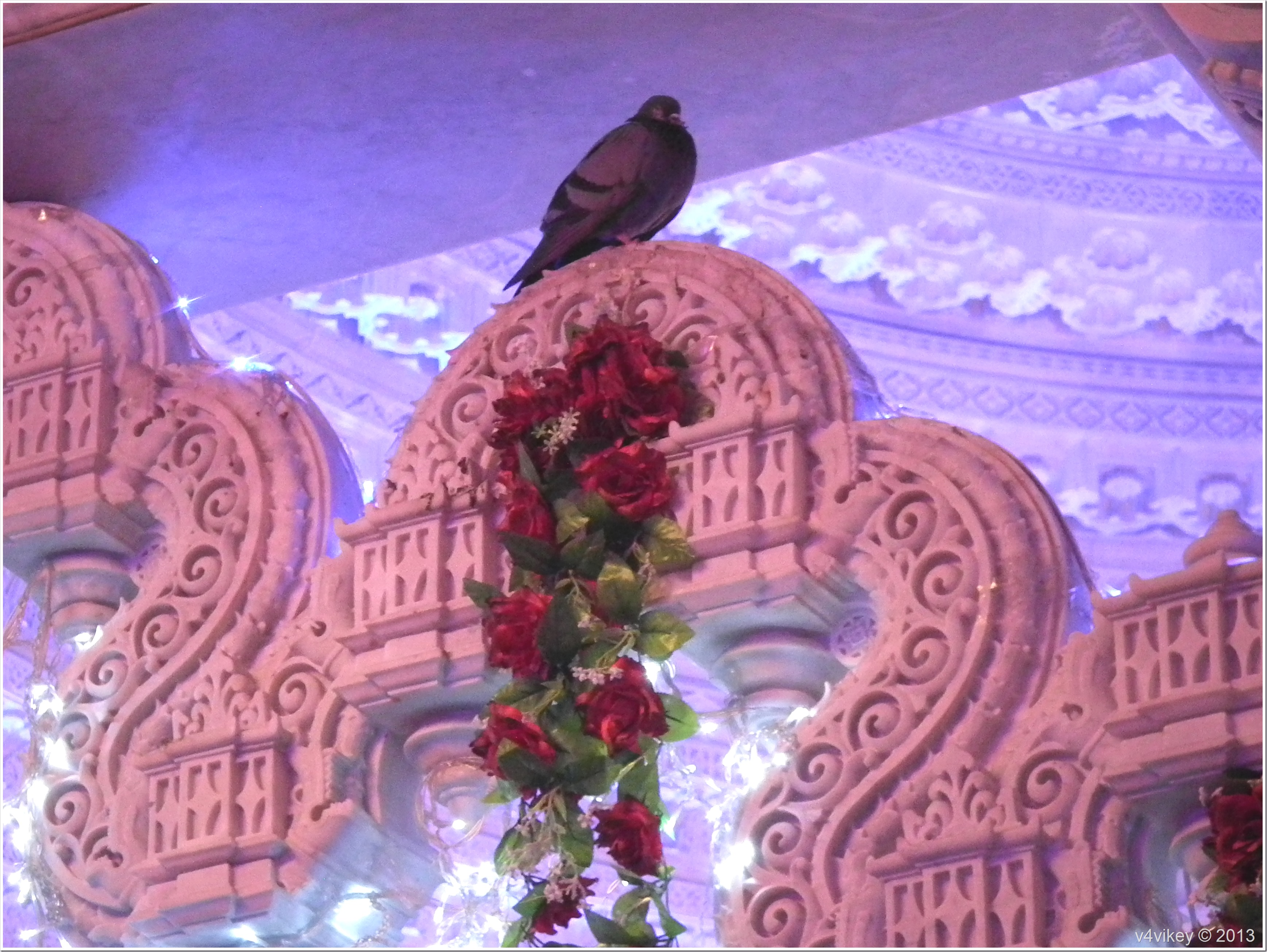 Pigeon in Prem Mandir