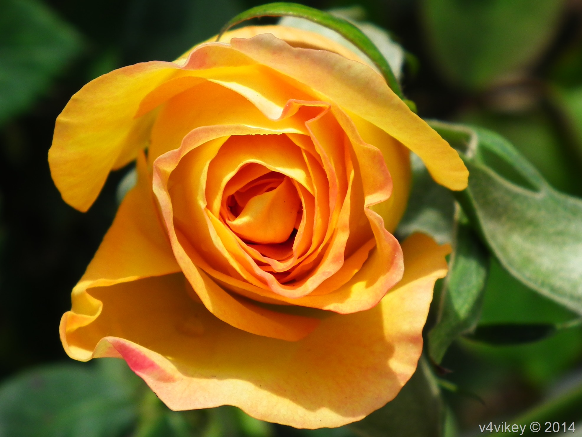 Lovely Yellow Color Rose Flower Photograph Wallpaper Tadka
