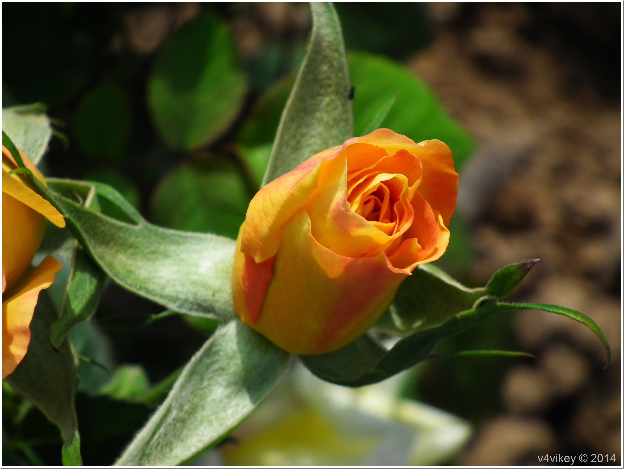 Rose Flower Bud in Yellow Color