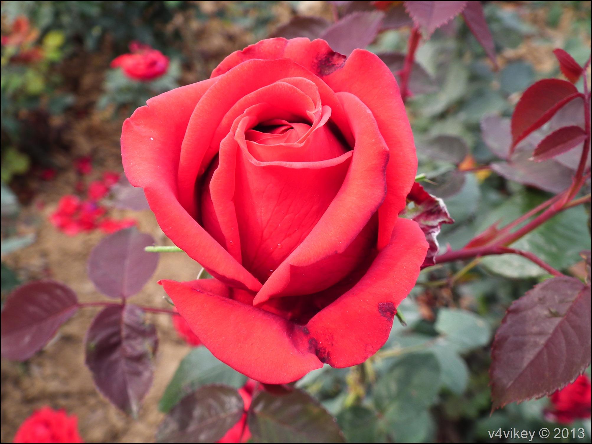 Rose Flower (11)