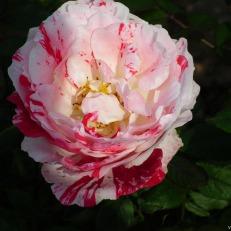 Rose Flower in Pink Red Color