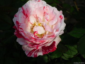 Rose Flower in Pink Red Color