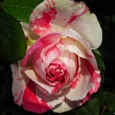Rose-Flower-124.jpg
