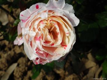 Rose Flower in Light Pink Red Color
