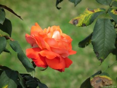 Orange Color Rose Flower