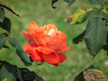 Orange Color Rose Flower