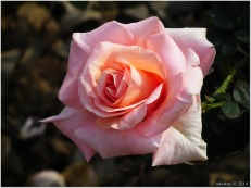 Pink Color Rose Flower
