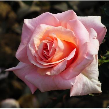 Pink Color Rose Flower