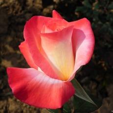 Rose-Flower-140.jpg
