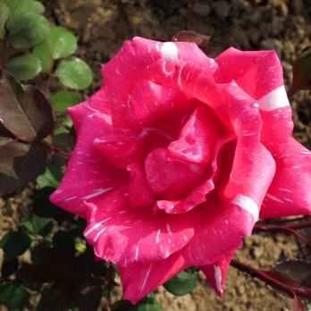 Rose Flowers Wallpaper