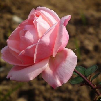 Rose-Flower-148.jpg