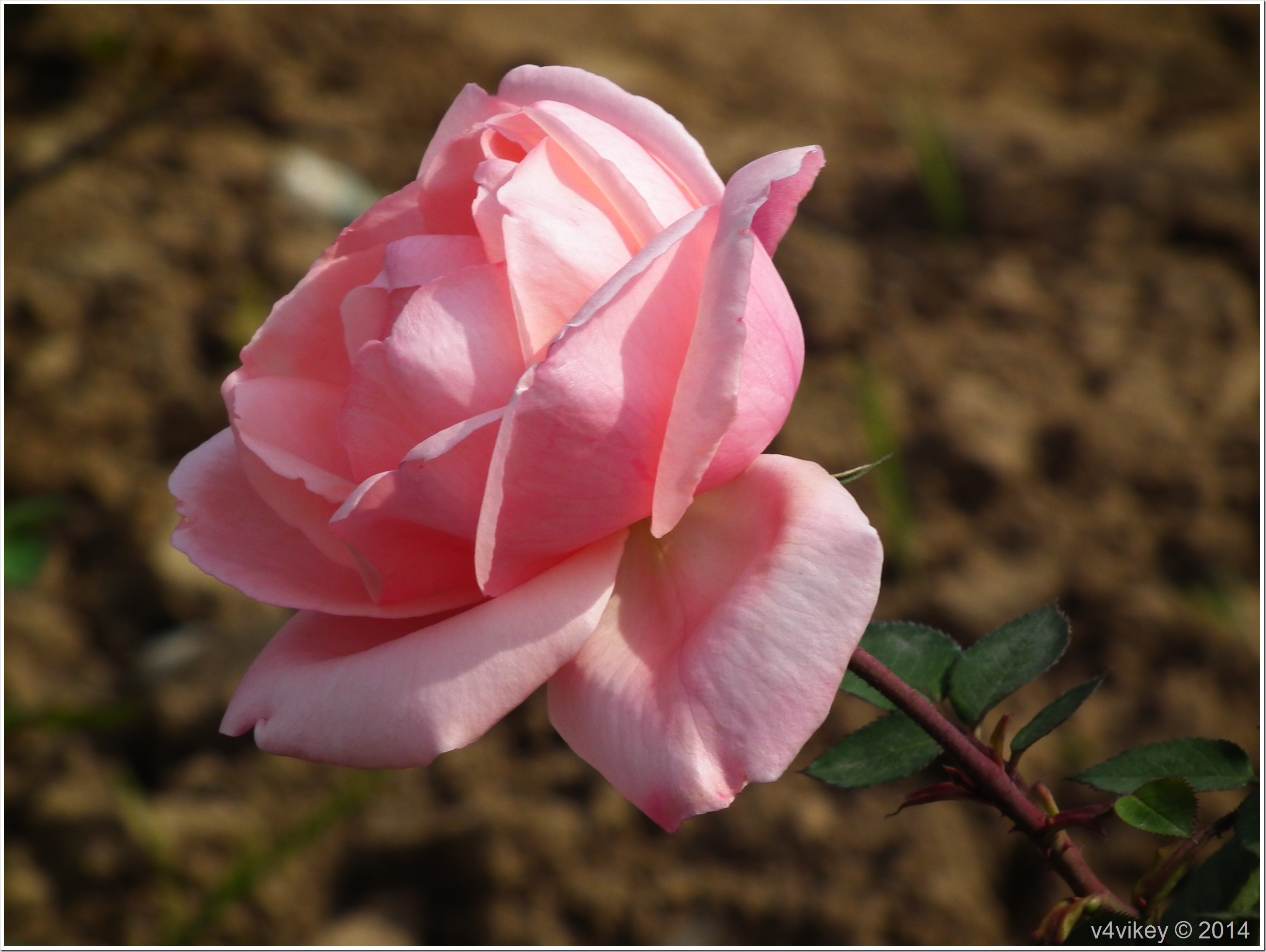 Rose Flower (148)