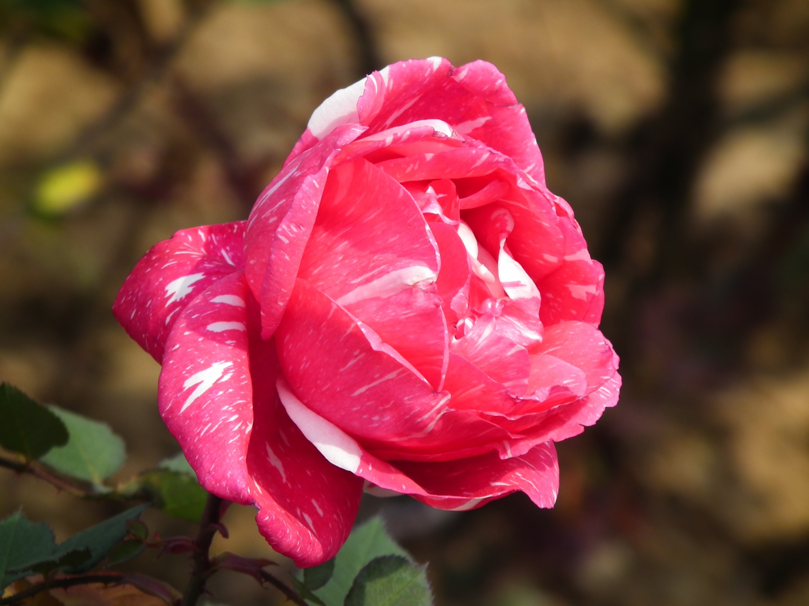 Rose Flower (153)