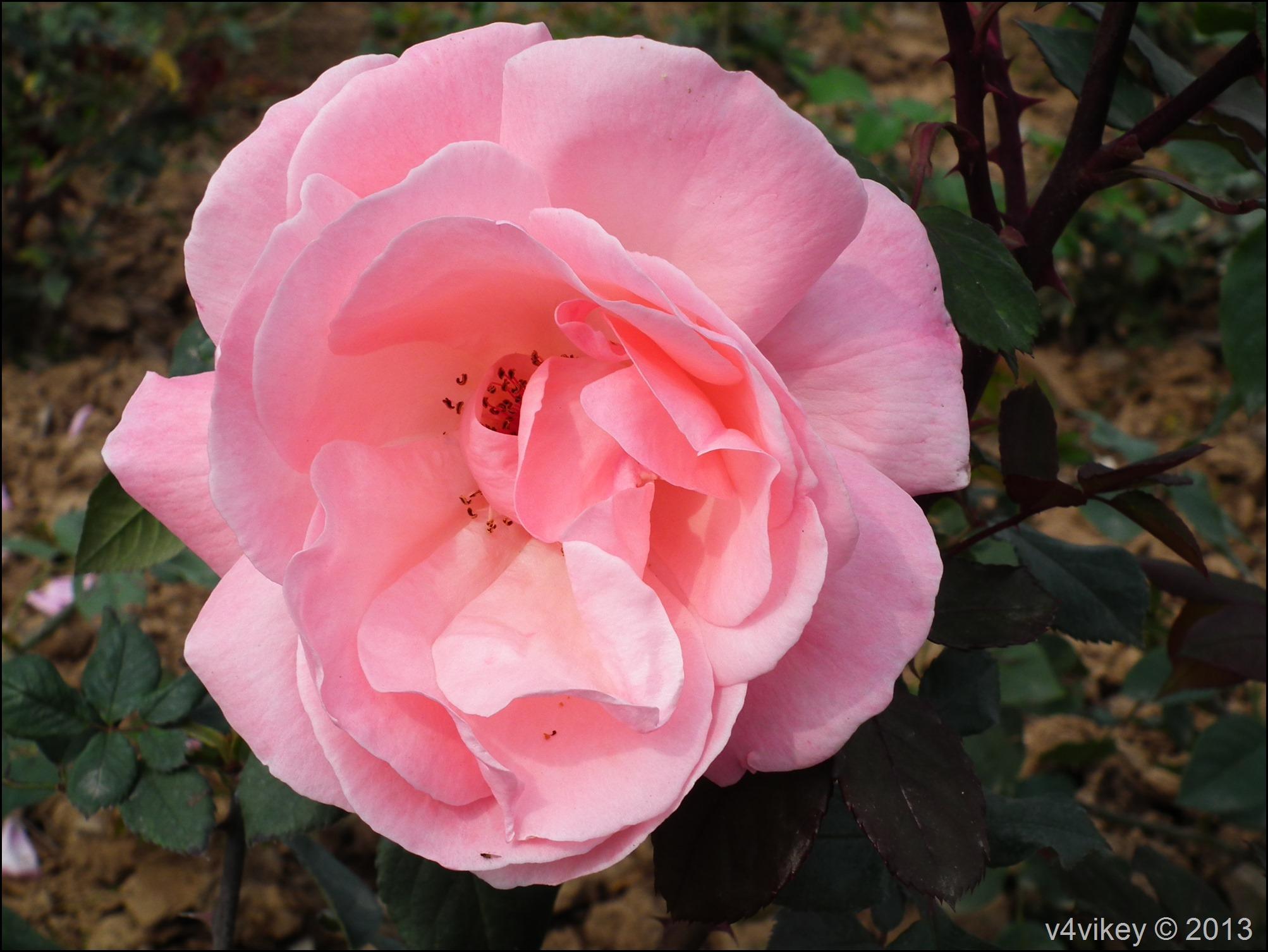 Rose Flower (15)