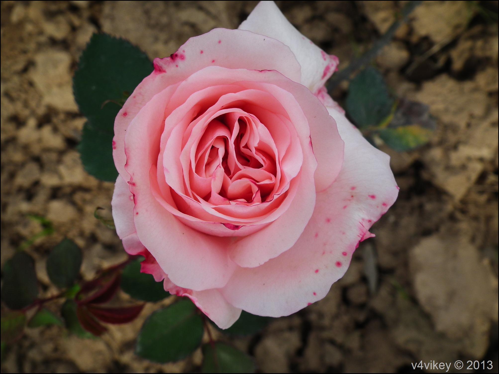 Rose Flower (20)